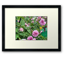 Pink Roses in the Garden 6 Framed Print