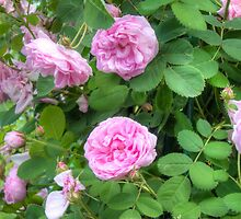 Pink Roses in the Garden 7 by AnnArtshock