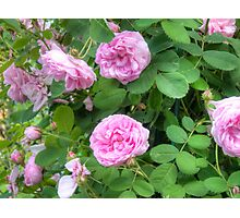 Pink Roses in the Garden 7 Photographic Print