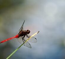 Red Dragonfly 2 by Timothy Oon