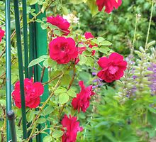 Red Climbing Roses by AnnArtshock