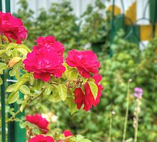 Red Climbing Roses 3 by AnnArtshock