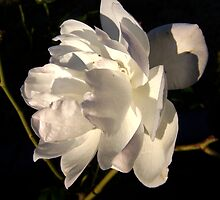Iceberg rose by Lissy