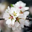 Flowering Almond by georgiegirl