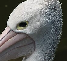 Pelican by canonsnapa