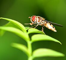 Hover Fly by Mark Snelson