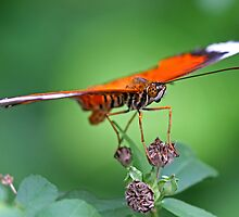 Orange Butterfly 1 by Mark Snelson