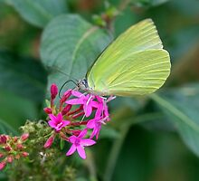 Yellow Butterfly on Pink Flower by Mark Snelson