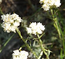 White Flowers by Kathrynshaw