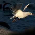 gull launch by Melinda Kerr