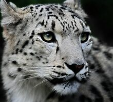 The Snow Leopard by Natalie Manuel