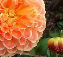 Peachy Dahlia by Mary Ellen Tuite Photography