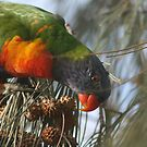 Rainbow lorikeet by Rob  McDonald
