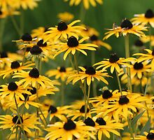 Black Eyed Susans by hiratadigital