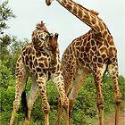 GIRAFFE BATTLES - Giraffa Camelopardalis (KAMEELPERD) by Magaret Meintjes