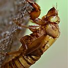 Cicada Emerged by Penny Smith