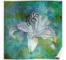 White Lily on Blue Poster