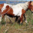 """Painted Beauty"" Wild Horse, Assateague Island by Sandy O'Toole"
