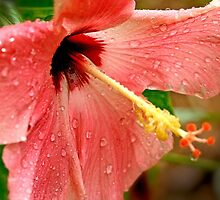 drenched Hibiscus by lensbaby