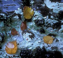 Submerged Fagus Leaves by Brandon Lee