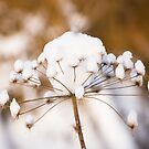 Snowy Flower by Craig Scarr