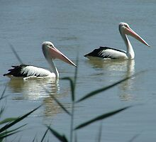 Pelicans on the Murray River by bombamermaid
