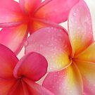 Pink Frangipani by Jo  Young
