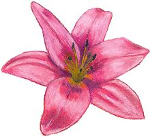 Pink Tiger Lilly by Darren McAliece