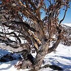 Winter snowgum by Craig Shadbolt