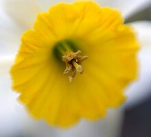 Daffodil  by Mary Broome