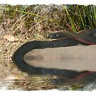 Red Belly Black Snake by Bandicoot