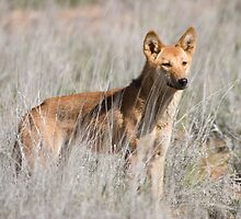 Dingo by David Burren