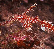 Ghost Pipe fish by Grey