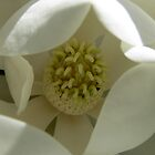 Magnolia Flower closeup by skyb