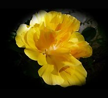 Beautiful double yellow hibiscus on black by JoAnnFineArt