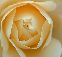 Orange rose by authentic