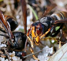 Wasps Black and Orange a 4 (c)(h), a moment of their life  by Olao-Olavia par Okaio Créations by okaio caillaud olivier
