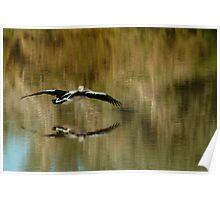 Pelican,Diamantina River, Outback Queensland Poster