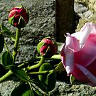 Contrast - Rose on Rock by ctheworld