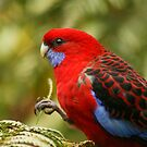 Crimson rosella by Robyn Lakeman