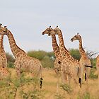 Giraffe Humor - African Wildlife - Amazing Stare by LivingWild