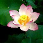 Lotus Flower by Christina Tang