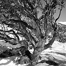 Winter snowgum B &amp; W by Craig Shadbolt