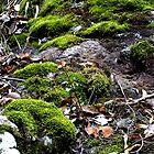 Mosses Killarney National Park Qld Australia by Sandra  Sengstock-Miller