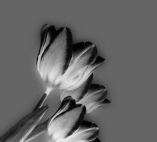 Silver tulips by cherryannette