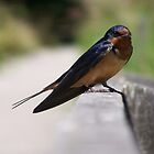Barn Swallow by Shannon Ireland