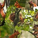 Red Squirrels by Furtographic