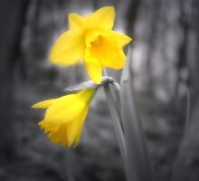 Lonely Dafodil by Chris Clark