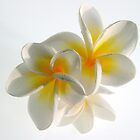 Frangipani Delight by Ann Williams-Fitzgerald