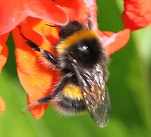 Bumble Bee on Flower of Runner bean by kenmay
